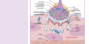 Ficha técnica principales enfermedades neuromusculares